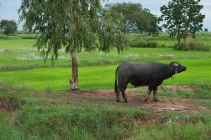 Family buffalo